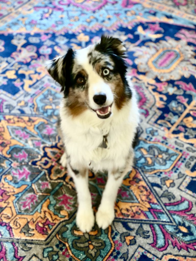 ozzimusprime, ozzy, area rug, colorful rug, navy and pink, fuchsia, multicolor rug, Christine Kohut Interiors, designninja, one room challenge, project coast to coast, better homes and gardens, losing my mind, blue merle aussie, australian shepherd