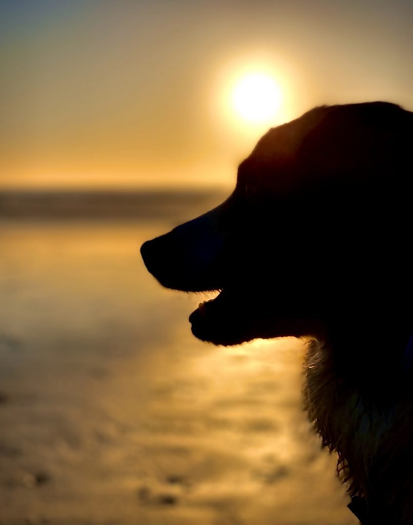 ozzimus prime, ozzy, australian shepherd, monterey, carmel by the sea, sunset, beach
